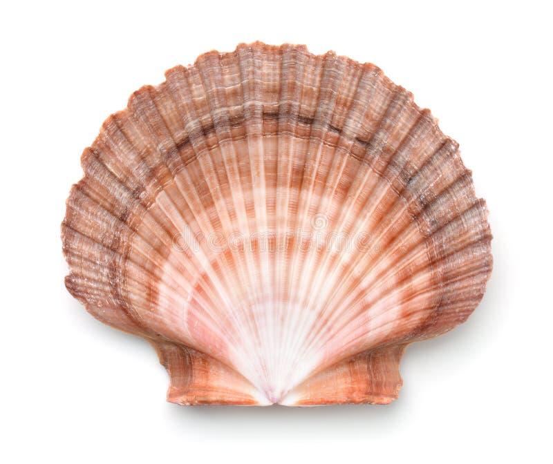 Vista superior de la cáscara de conchas de peregrino imágenes de archivo libres de regalías