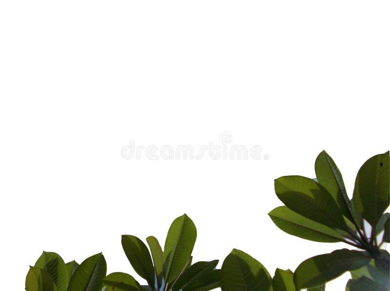 Vista superior de la hoja tropical aislada en los fondos blancos ilustración del vector