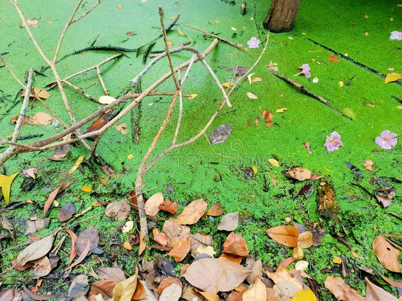 Vista superior de la lenteja de agua de las hojas con agua en la charca, hoja verde como fondo fotografía de archivo
