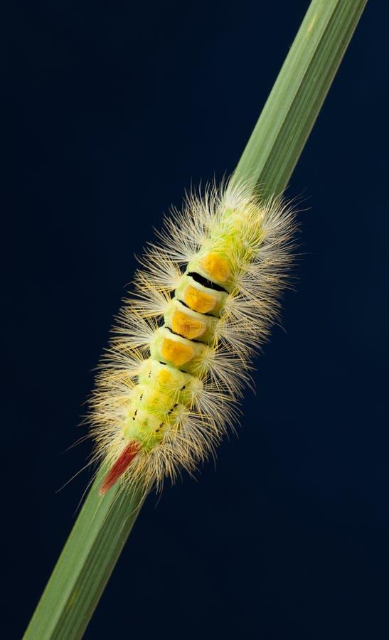 Vista superior de la oruga amarilla espesa en hierba foto de archivo