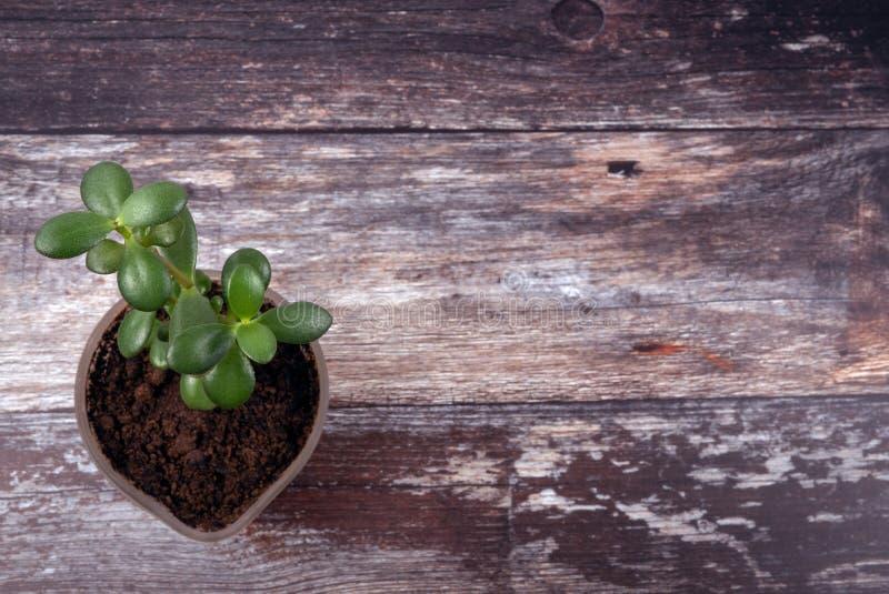 Vista superior de la pequeña planta suculenta de moda verde que crece en nuevo suelo en un fondo tablero de madera resistido fotografía de archivo