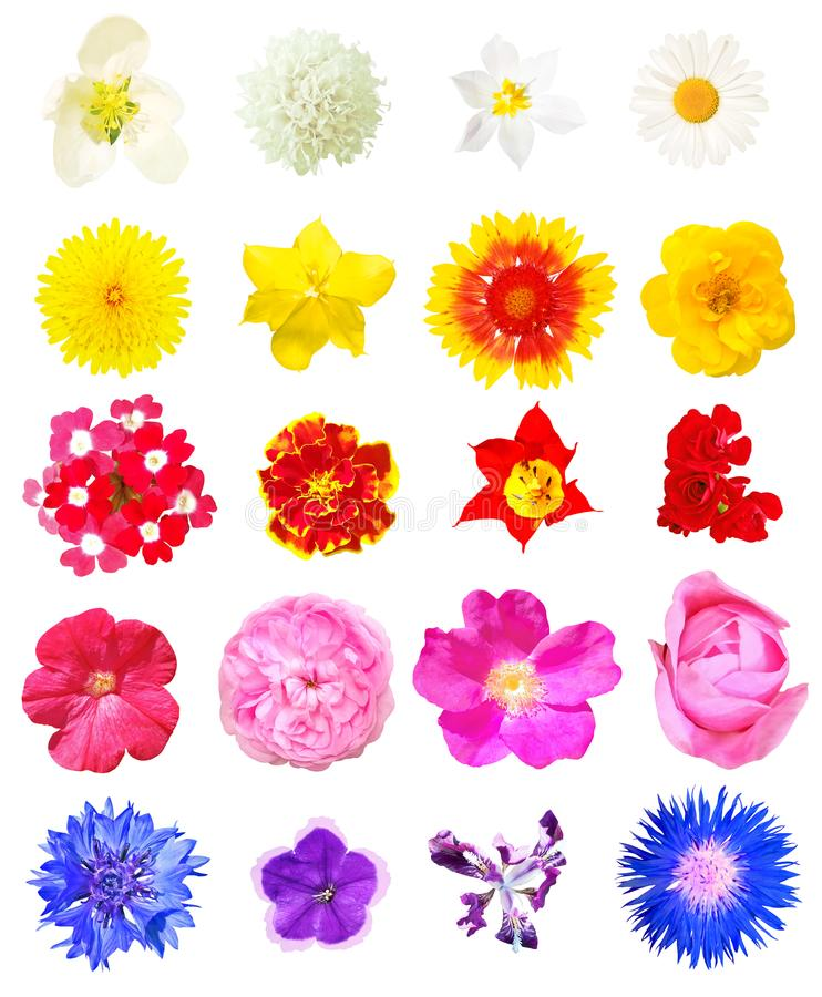 Vista superior de las flores aisladas en el fondo blanco fotografía de archivo libre de regalías