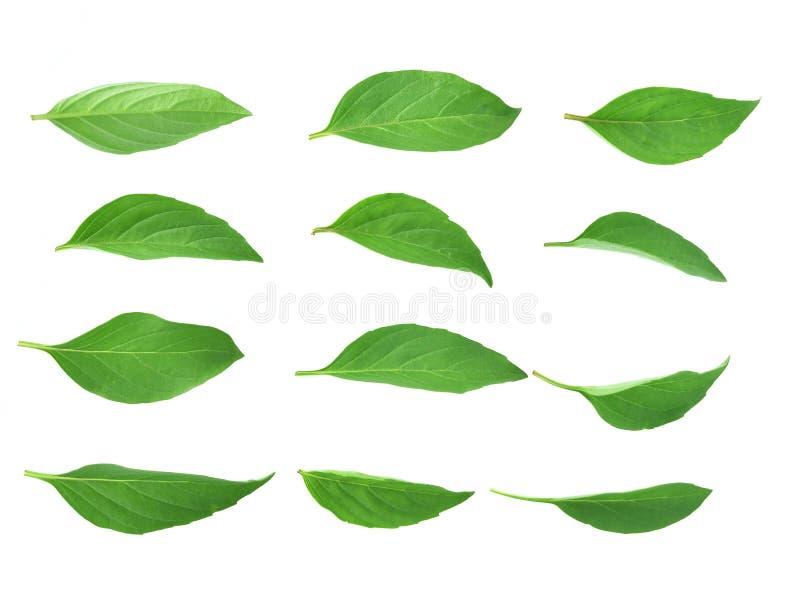 Vista superior de las hojas de la albahaca aisladas en el fondo blanco fotos de archivo libres de regalías