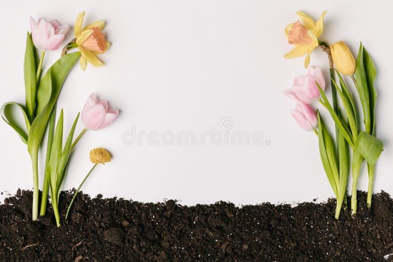 a vista superior de tulipas, do crisântemo e do narciso bonitos floresce na terra isolada no branco fotos de stock royalty free