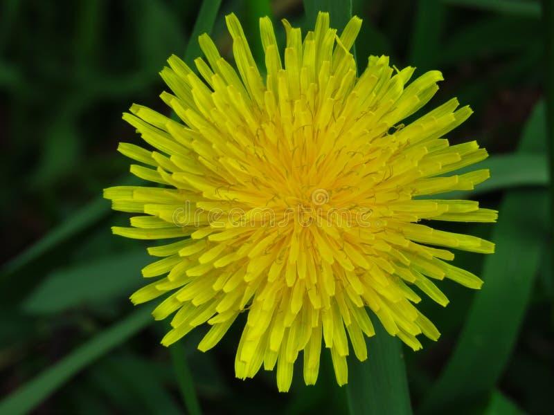 Vista superior de uma flor do dente-de-leão em escuro - fundo borrado verde Taraxacum Flor do amarelo do ver?o da mola fotos de stock royalty free