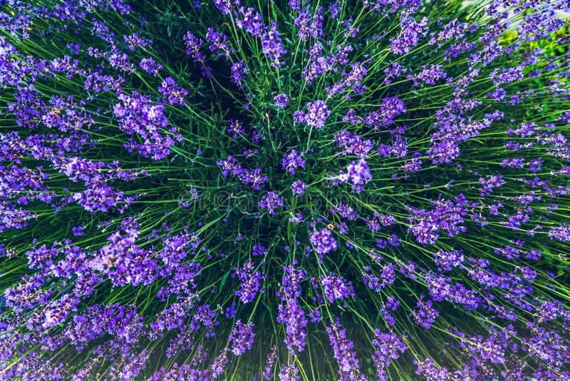 Vista superior de un ramo de flores púrpuras de la lavanda fotografía de archivo libre de regalías