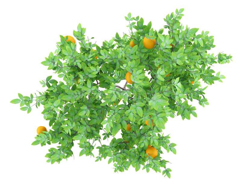 Vista superior del árbol anaranjado con las naranjas aisladas en blanco ilustración del vector