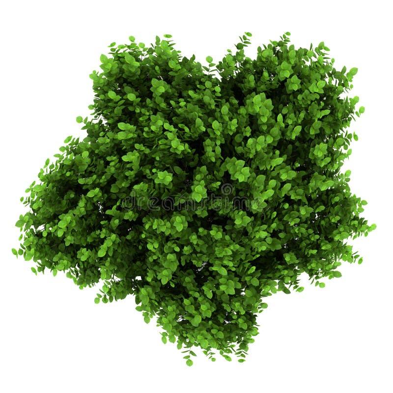 Vista superior del arbusto del hydrangea del bigleaf aislado libre illustration