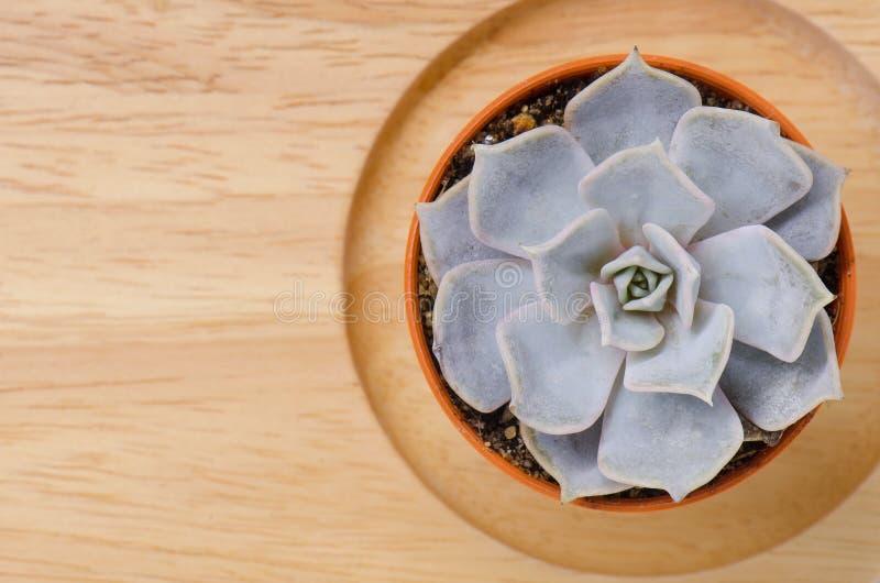 Vista superior del pequeño pote suculento de la planta en fondo del piso del tablero de madera foto de archivo