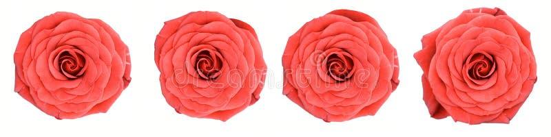 Vista superior (macro, primer) de cuatro rosas rojas foto de archivo libre de regalías