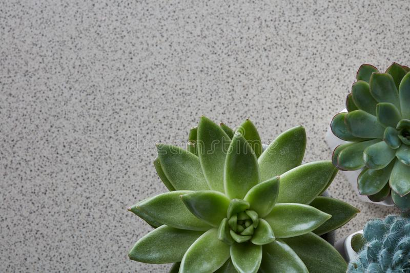 Vista superiore dei tipi differenti di piante di Echeveria su un fondo di pietra grigio fotografia stock libera da diritti