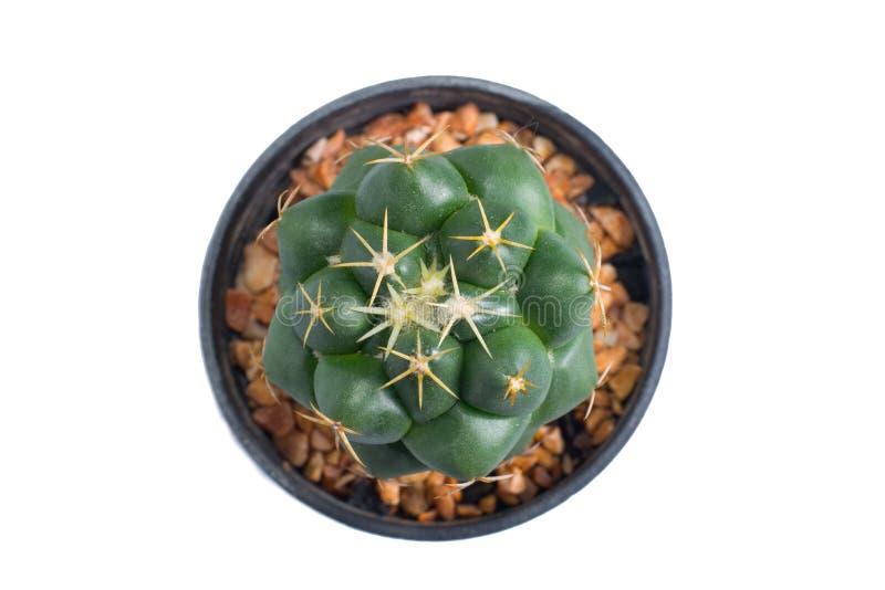 Vista superiore del cactus in vaso fotografia stock libera da diritti