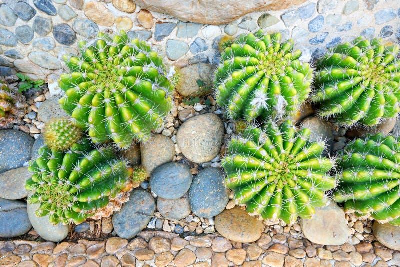 Vista superiore del calochlora verde di echinopsis o del cactus sulla pietra come fondo immagine stock