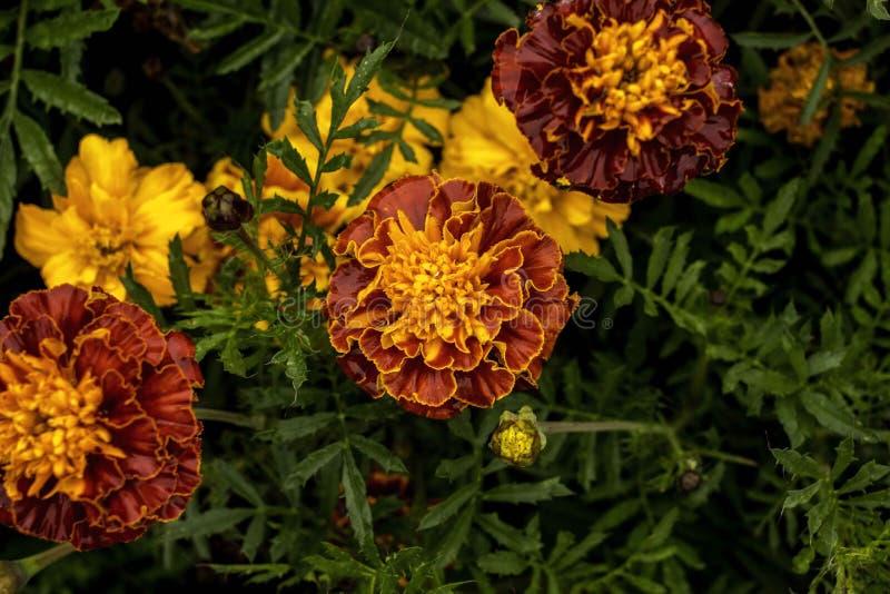 Vista superiore del fiore giallo del giardino immagini stock libere da diritti