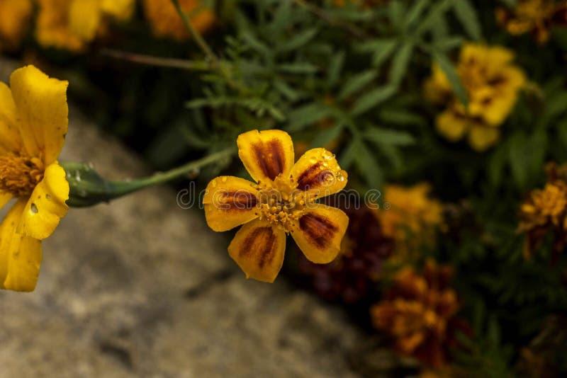 Vista superiore del fiore giallo del giardino fotografia stock