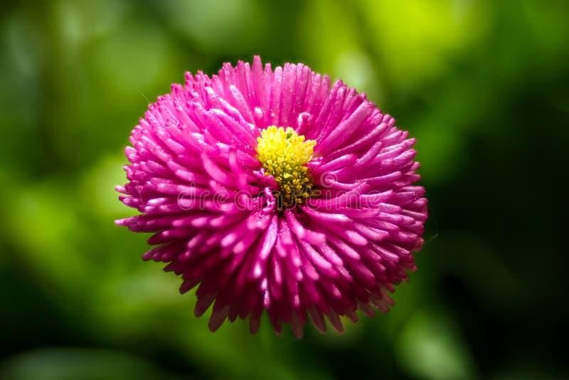 Vista superiore del fiore rosso del crisantemo su fondo verde fotografia stock