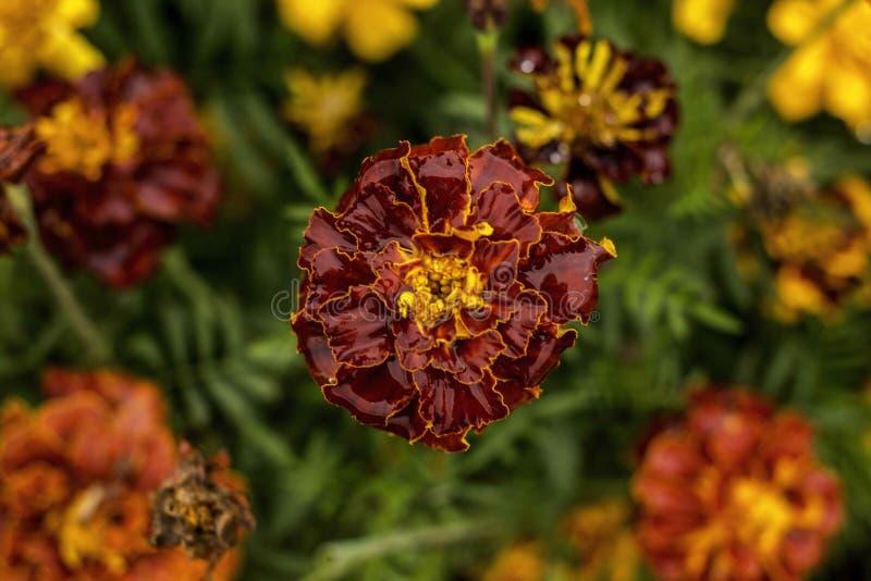 Vista superiore del fiore rosso del giardino fotografie stock libere da diritti