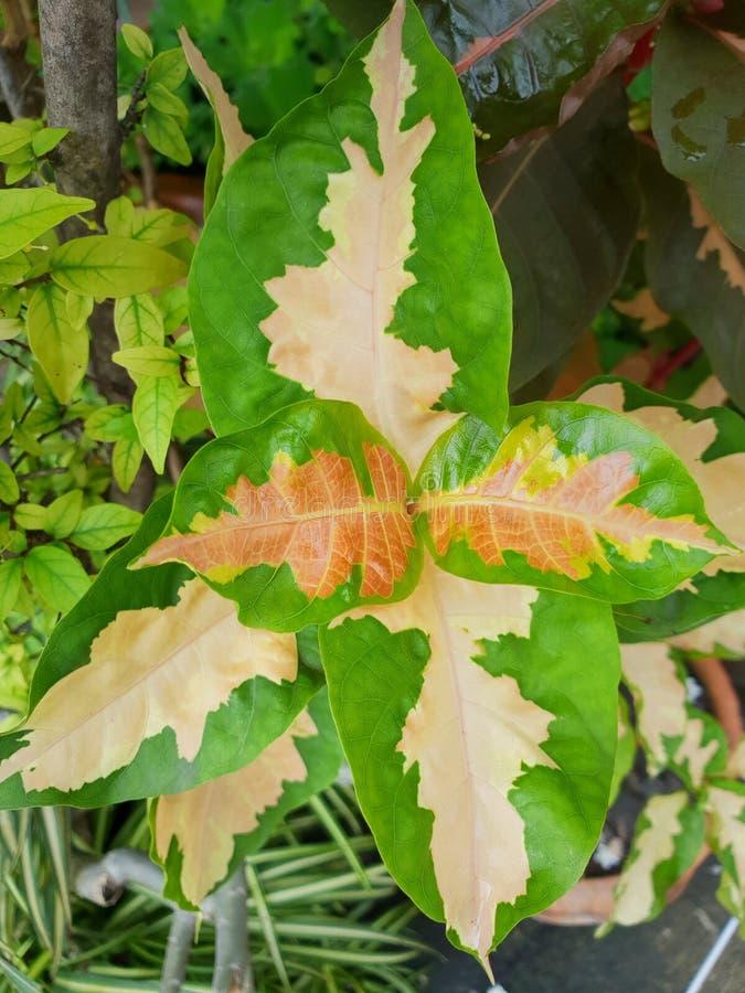 Vista superiore del pictum della pianta o del Graptophyllum di caricatura delle foglie come fondo fotografia stock