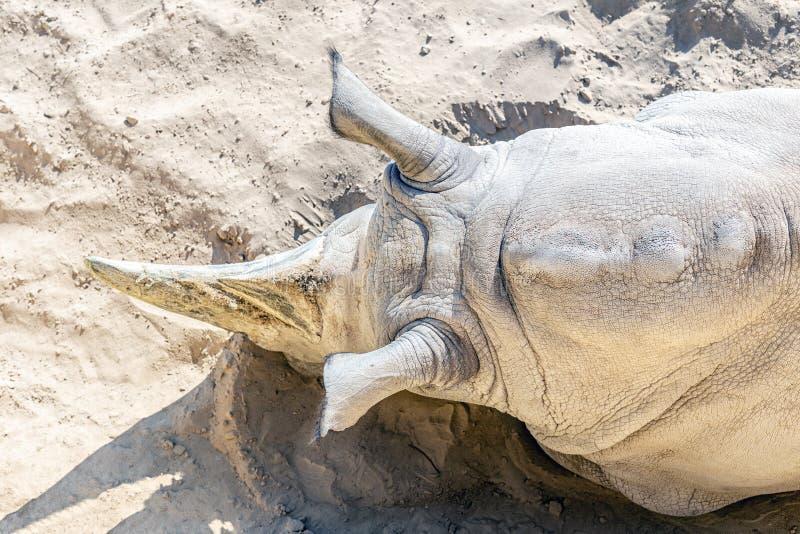 Vista superiore del primo piano del rinoceronte bianco che si trova sulla sabbia Salvataggio della specie in pericolo di estinzio immagini stock libere da diritti