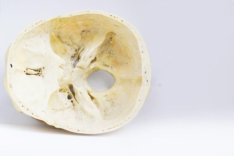 Vista superiore della base del cranio umano che mostra osso sfenoide ed il magnum di orifizio per anatomia nel fondo bianco isola fotografia stock libera da diritti