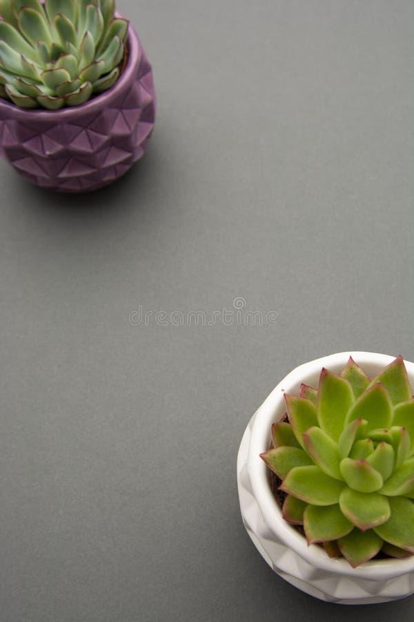 Vista superiore della crassulacee, succulenti di Echeveria in vaso, fondo grigio Modello per area di lavoro, o testo fotografia stock libera da diritti