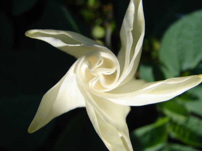 Vista superiore della datura Stimolante, stramonium, stramonio, jimsonweed Fine del fiore della datura su immagini stock