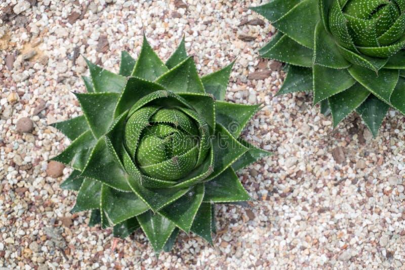 Vista superiore della pianta dell'agave fotografia stock
