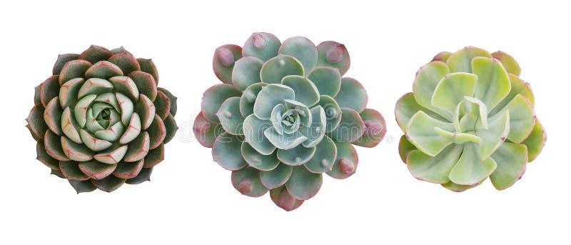 Vista superiore di piccola crassulacee conservata in vaso del cactus, un insieme di tre vari tipi di succulenti di Echeveria comp fotografia stock libera da diritti