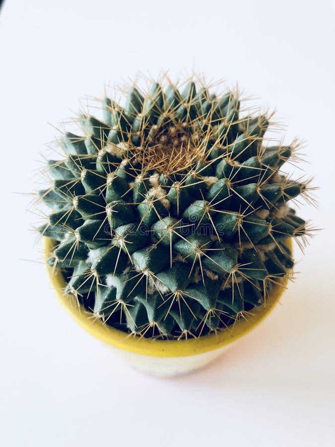 Vista superiore di un cactus del puntaspilli fotografie stock