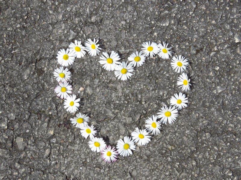 Vista superiore Vista superiore Mazzo a forma di dei fiori della margherita del cuore sulla strada Perennis del Bellis fotografia stock libera da diritti