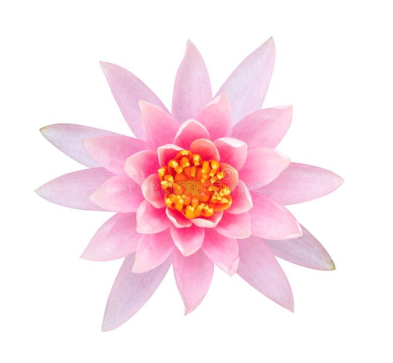 Vista superiore rosa-chiaro del fiore di loto di colore isolata su fondo bianco, percorso fotografia stock