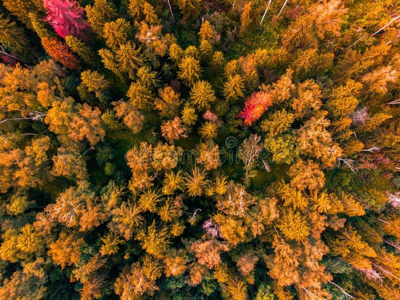 Vista superiore sulle cime degli alberi gialli La Russia fotografia stock libera da diritti