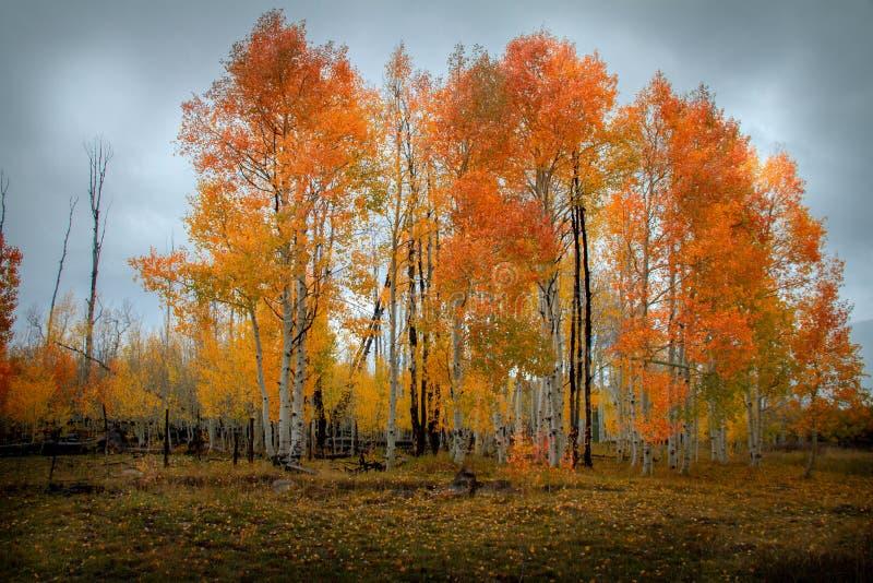 Vista temperamental e nebulosa de uma floresta da árvore vibrantly colorida do vidoeiro e do álamo tremedor no outono imagem de stock