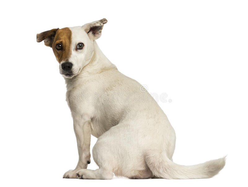 Vista traseira de um terrier de Jack Russel que olha para trás, isolada fotos de stock