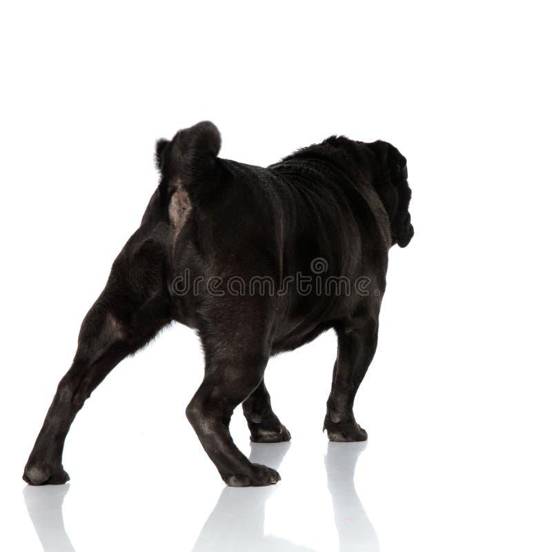Vista traseira um pug preto determinado que anda afastado foto de stock royalty free