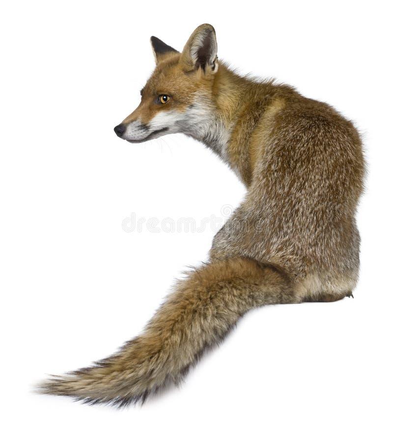 Vista trasera de Fox rojo, 1 año, sentándose imágenes de archivo libres de regalías