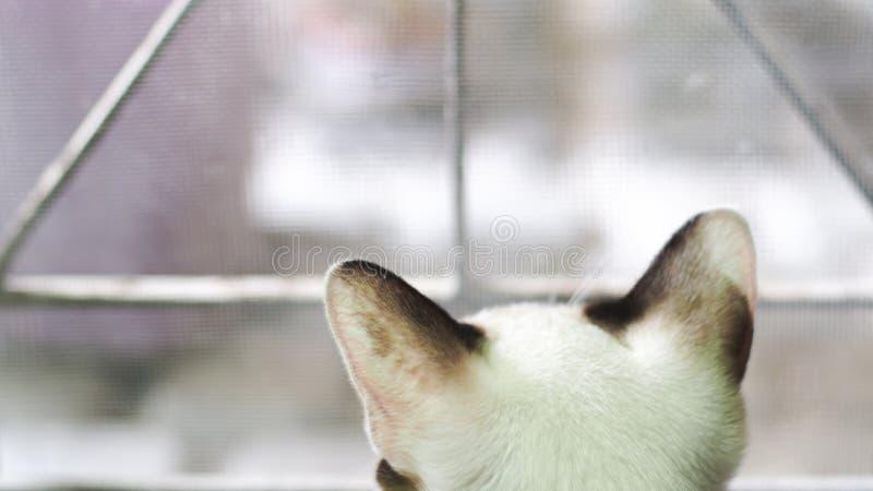 Vista trasera de la ventana siguiente que se sienta del gato siamés con el fondo exterior de observación de las cosas del curious imágenes de archivo libres de regalías