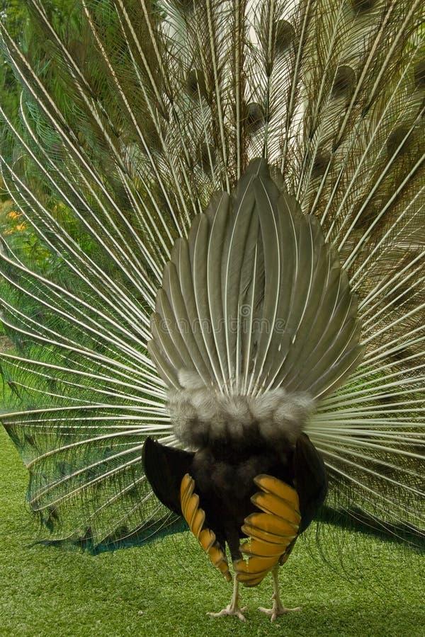 Vista trasera de la visualización del pavo real foto de archivo libre de regalías