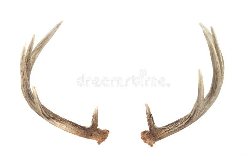 Vista trasera de las cornamentas de los ciervos de Whitetail imágenes de archivo libres de regalías