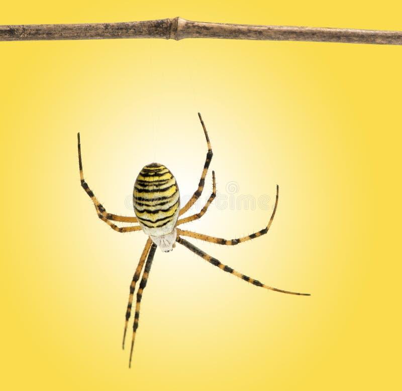 Vista trasera de una ejecución de la araña de la avispa de una rama de madera, Argiope imagen de archivo