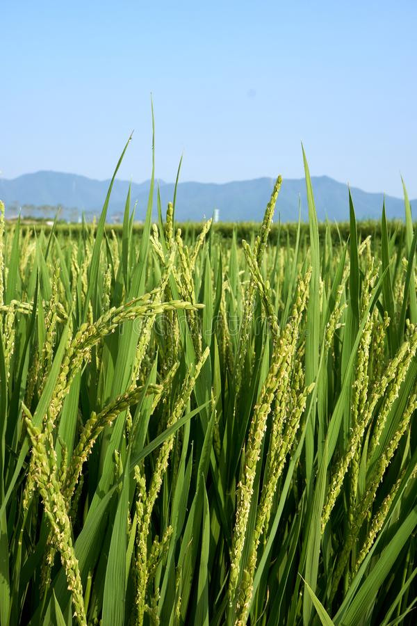 Vista vertical de un primer de un campo verde del arroz que no es maduro todavía con una indirecta del rocío que cuelga en su ext fotografía de archivo libre de regalías