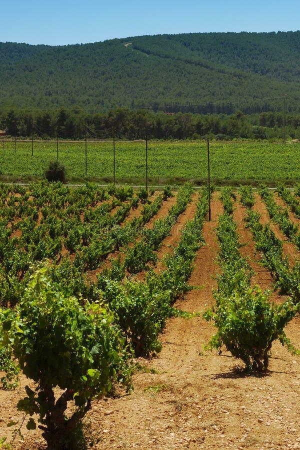 Vista verticale di un paesaggio dei campi verdi delle vigne immagine stock libera da diritti