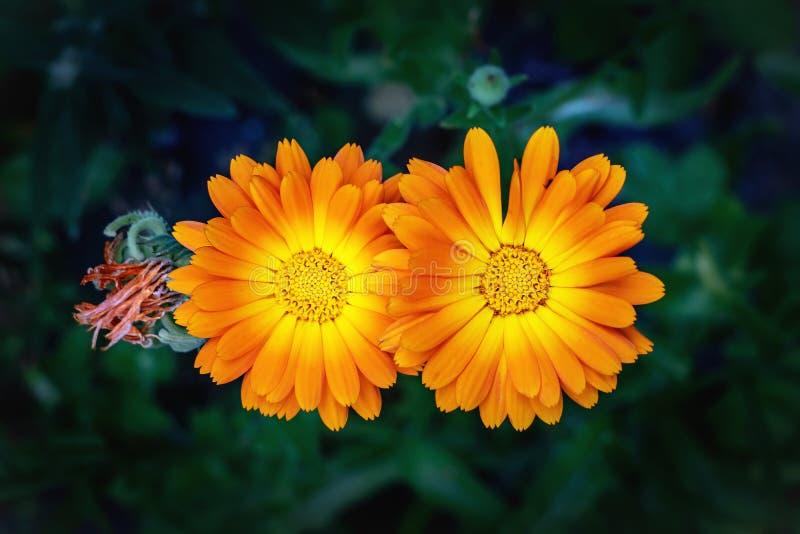 Vista vicina dei fiori di calendula officinalis fotografie stock libere da diritti