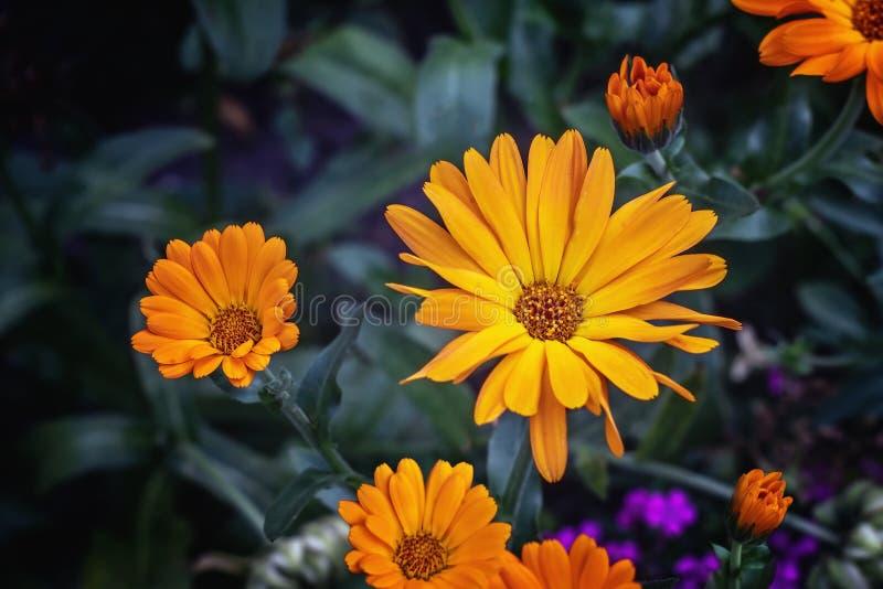 Vista vicina dei fiori di calendula officinalis immagine stock