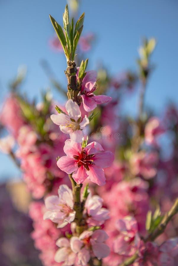Vista vicina dei fiori di rosa della ciliegia fotografia stock