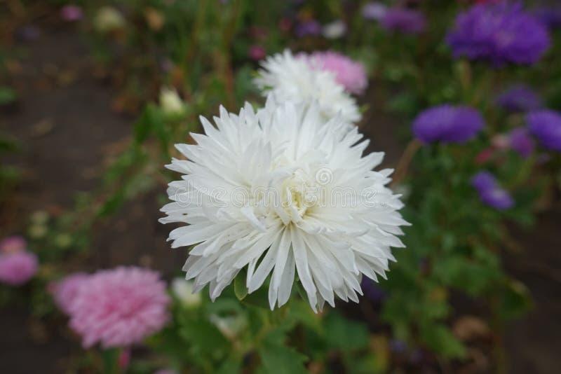 Vista vicina del fiore bianco dell'aster di Cina fotografia stock