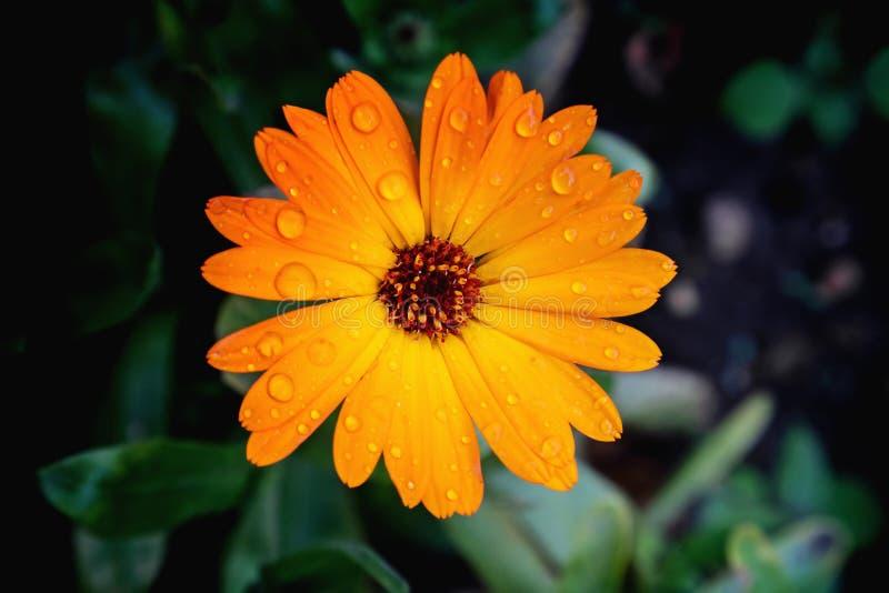 Vista vicina del fiore di calendula officinalis fotografia stock