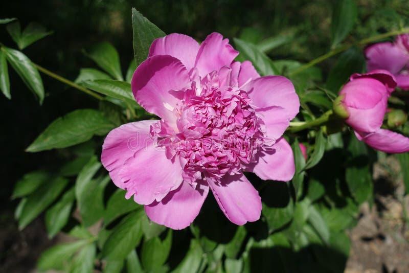 Vista vicina del fiore rosa della peonia fotografia stock libera da diritti