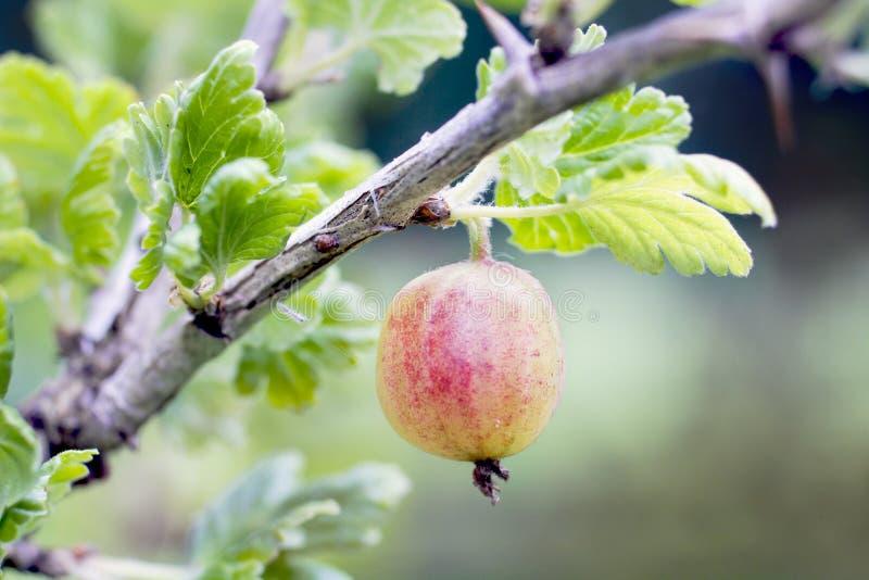 Vista vicina dell'uva spina immagini stock libere da diritti