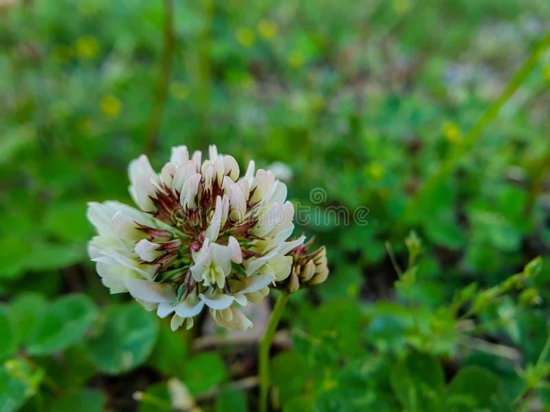Vista vicina sul fiore dei clower bianchi fotografia stock